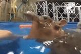 Zurivý útok hrocha na Zoo ošetrovateľku